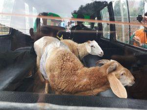 Domba Qurban Bandung